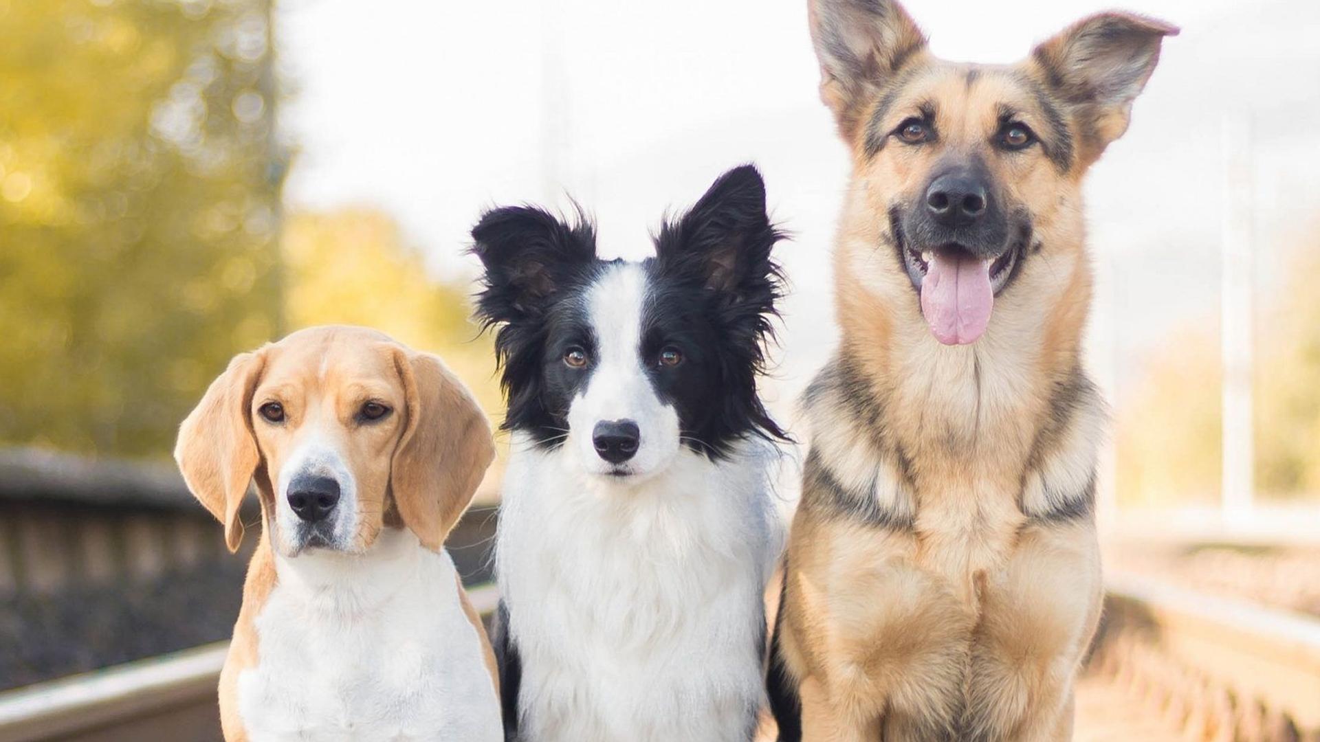 На Прикарпатті відбудеться виставка собак всіх порід