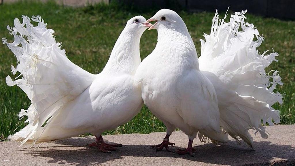 У Коломиї відбудеться Всеукраїнський ярмарок спортивних та декоративних голубів